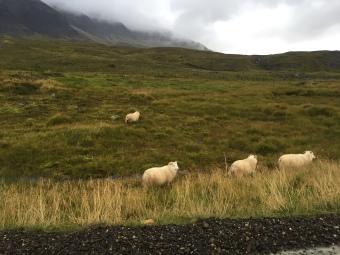 sheep-grazing-on-cliffside-enroute-from-hofn-to-egilstaddir